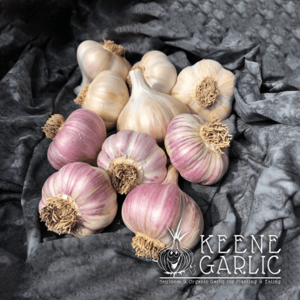 First Time Grower Garlic Package Keene Garlic