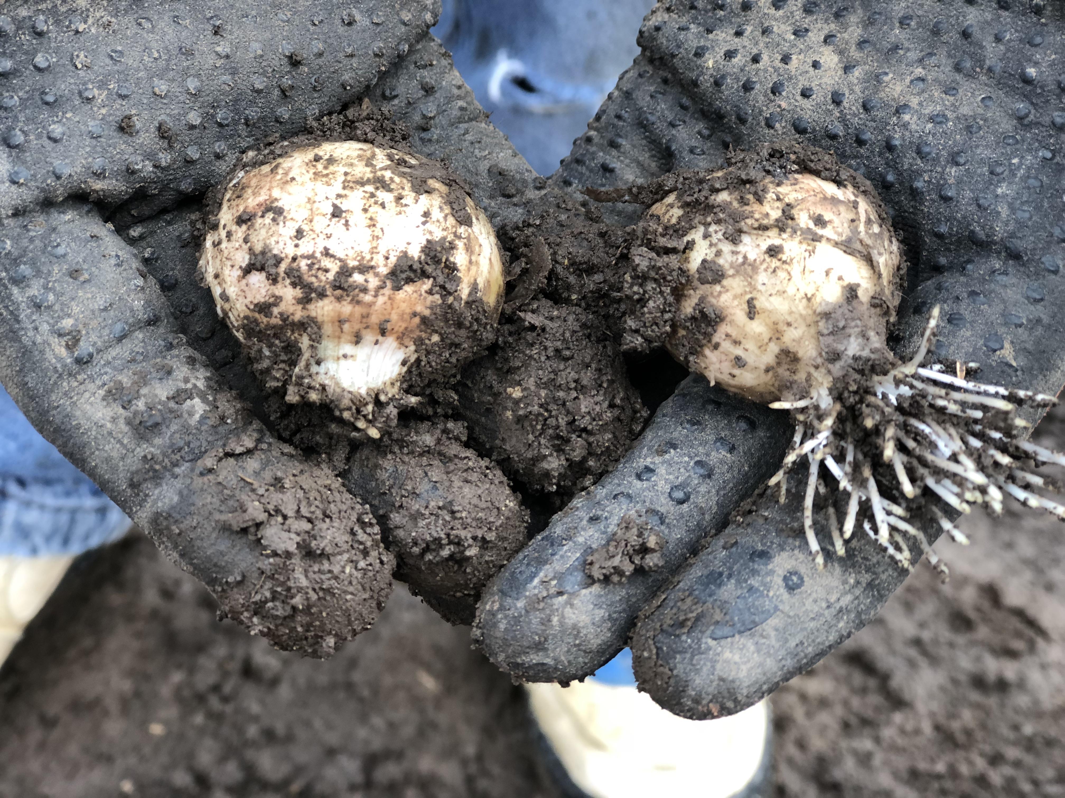 Garlic fertilization soak