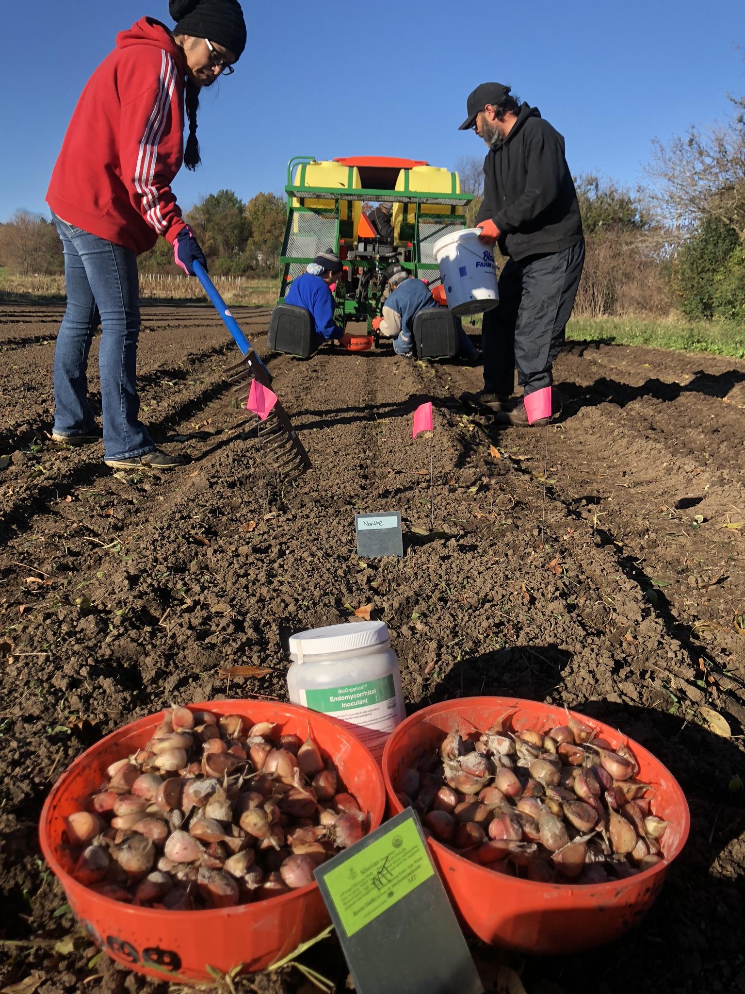 Keene Garlic Fall Planting