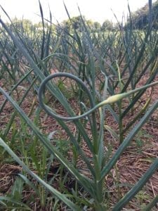 Garlic Scape ready to pick