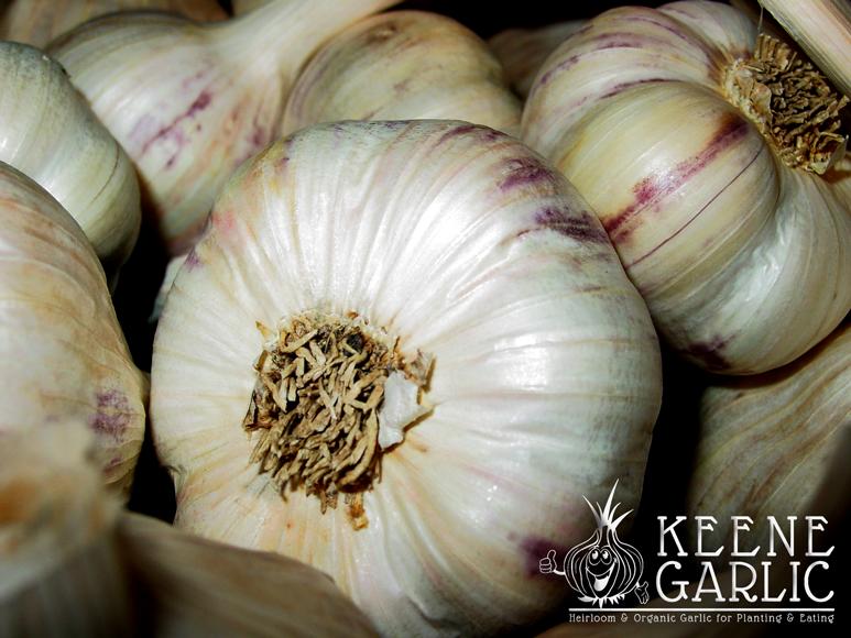 Beautiful-Heirloom-Keene-Garlic