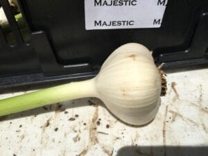 Majestic Garlic Bulbs