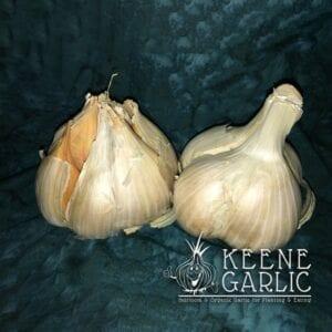 Elephant Garlic Keene Garlic Bulbs