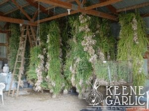 Curing garlic by hanging in barn
