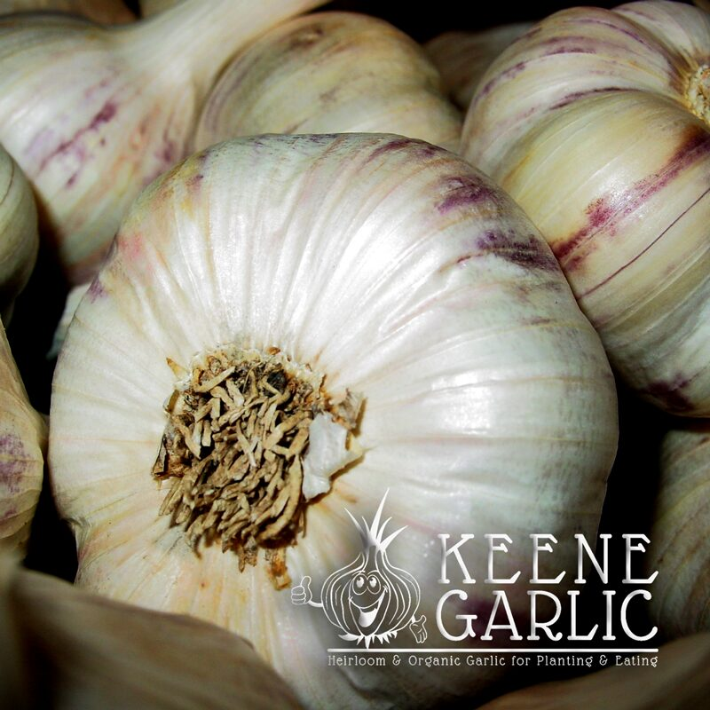 Inchelium Red Organic Keene Garlic Bulbs