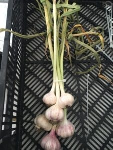 Keene Garlic Curing with zip ties