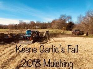 Keene Garlic Fall Mulching