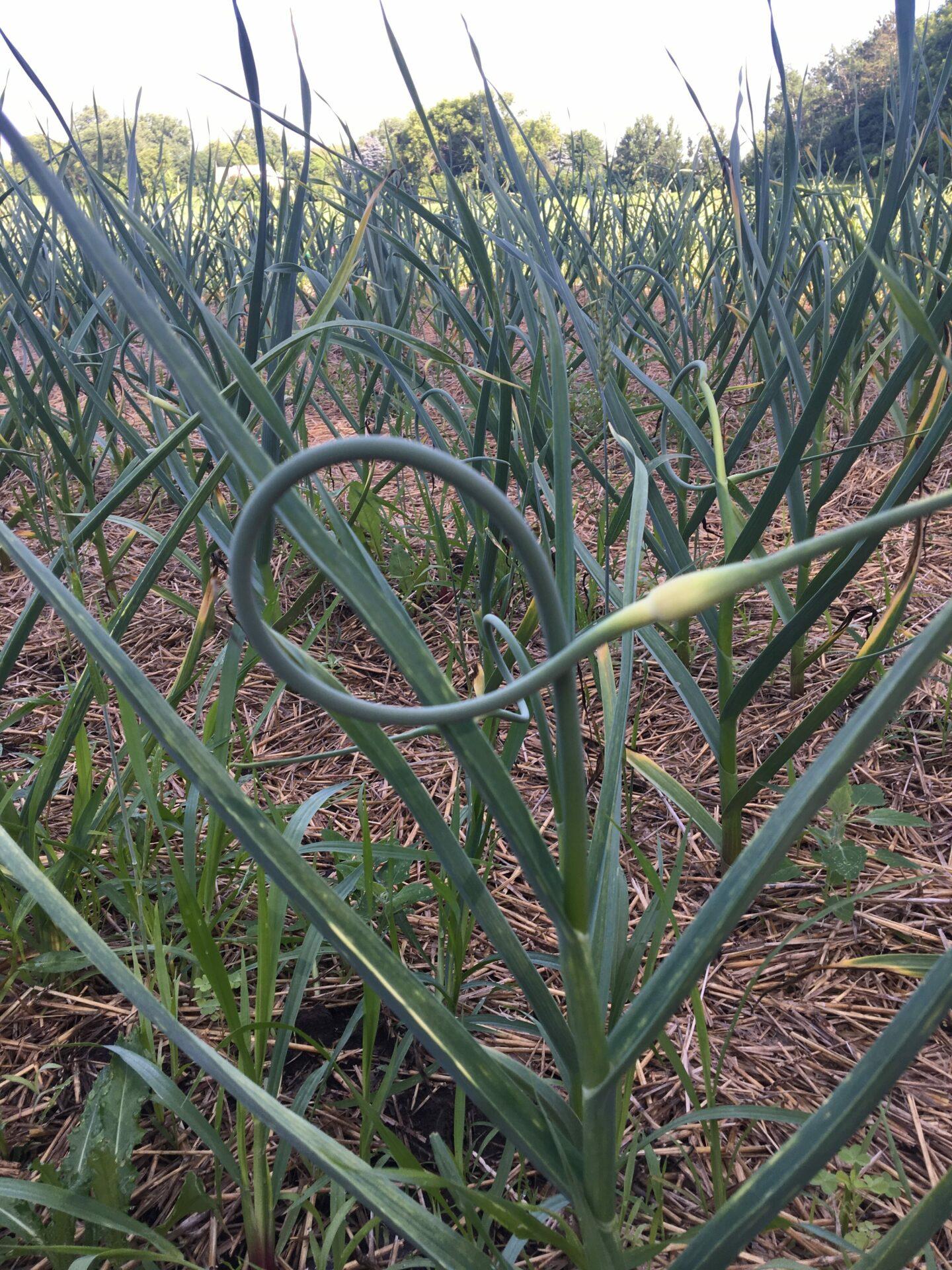 Keene Garlic Scape