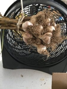 Keene Garlic curing with fan