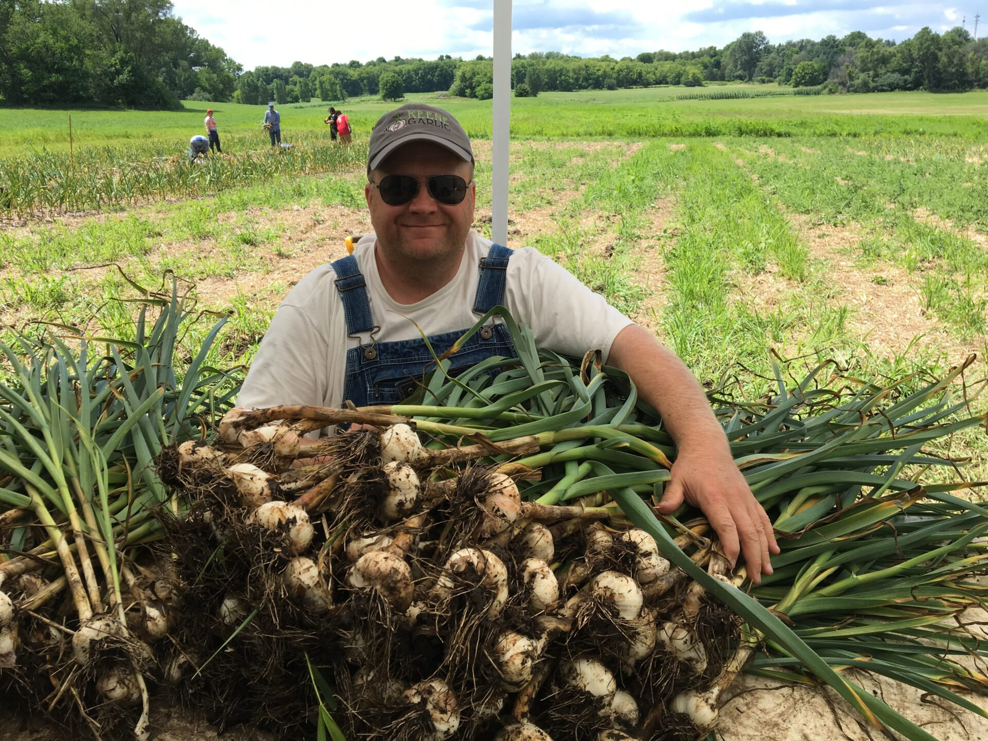 Keene Garlic Harvesting Garlic