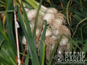 Keene Garlic Curing
