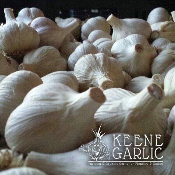 Northern White Keene Garlic Bulbs
