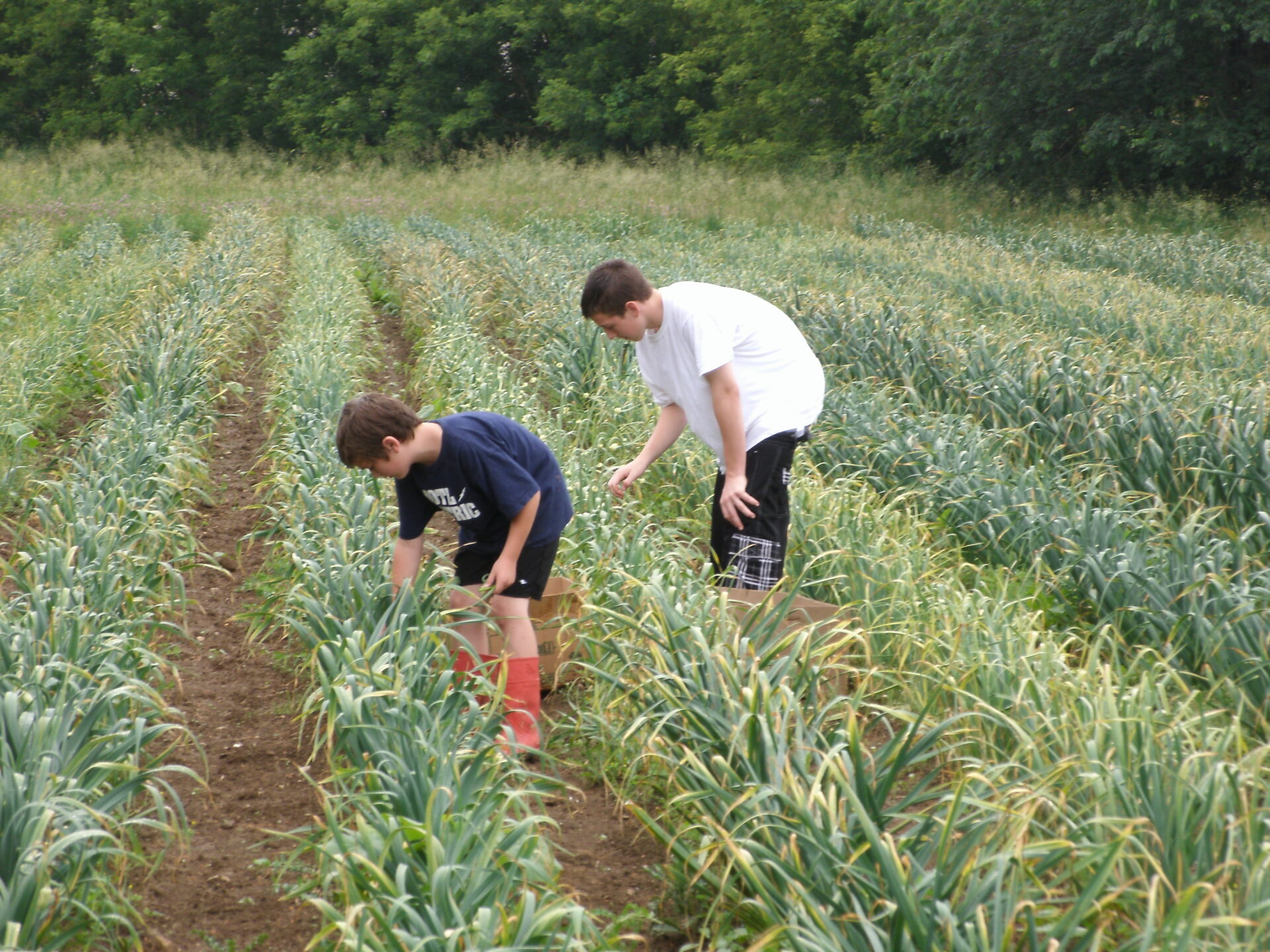 Kids picking garlic scapes at Keene Garlic Field