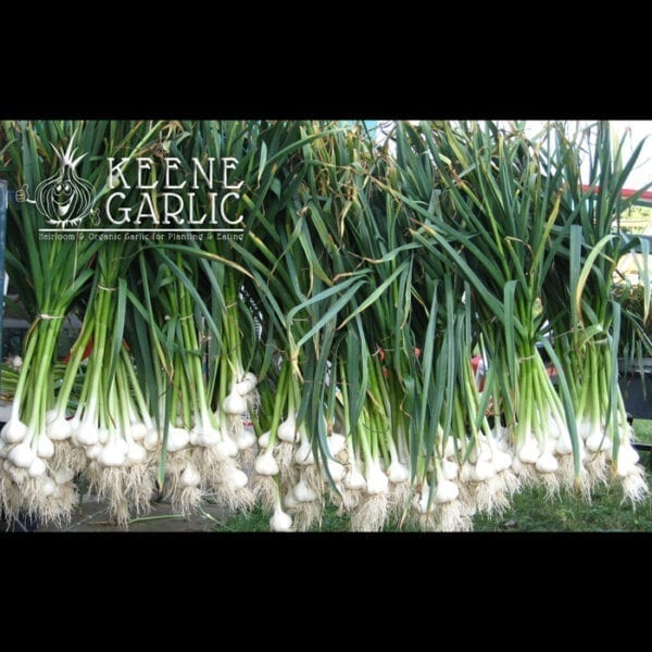 Harvest, bundled, and hanged Organic Music garlic bulbs