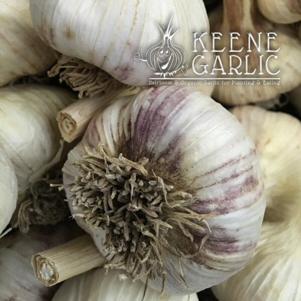 Russian Giant Keene Garlic Bulb