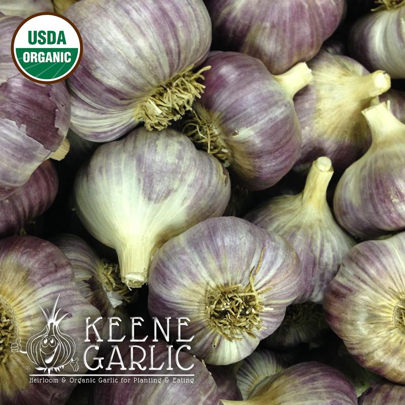 Russian Giant Organic Keene Garlic Bulb