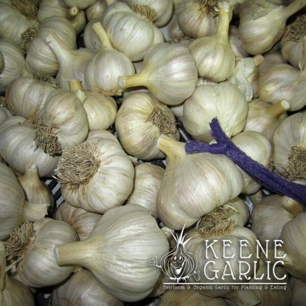 Spanish Roja Garlic Bulbs