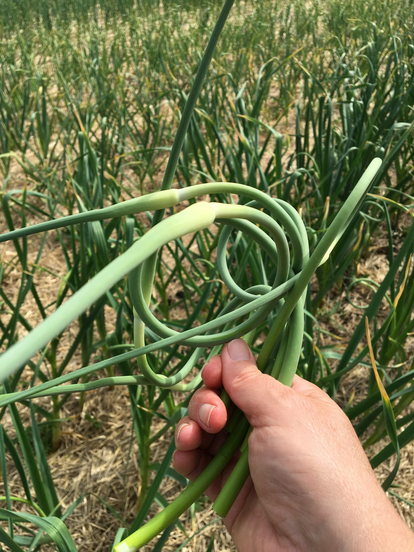Picked Garlic Scapes