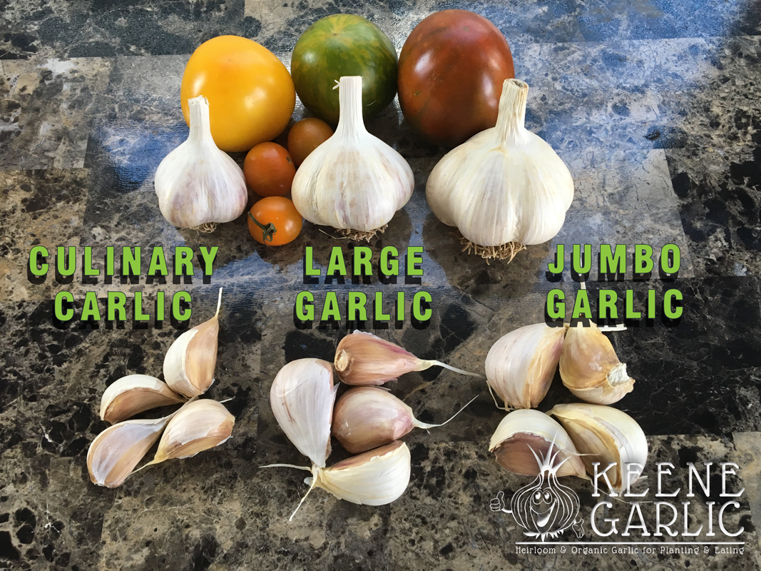 garlic-sizes-keene-organics-garlic