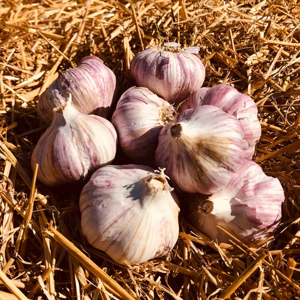 Red Grain Garlic Bulbs