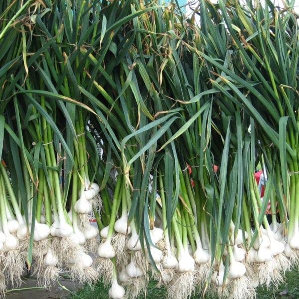 Music Naturally Grown Garlic Bulbs