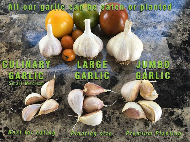 Garlic Bulb and clove size