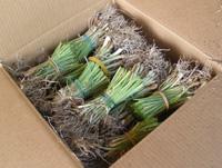 Keene Garlic Onion Transplant in Box