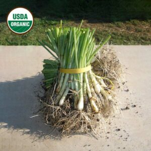 Keene garlic Organic Onion Transplants