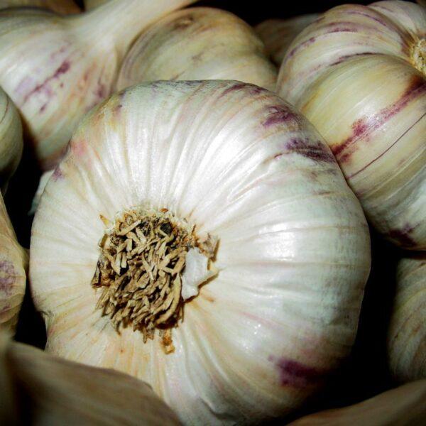 Inchelium Red Certified Organic Bulbs Spring Planting Garlic Keene Garlic