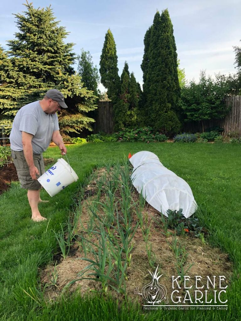 Spring Garlic Fertilization Keene Garlic