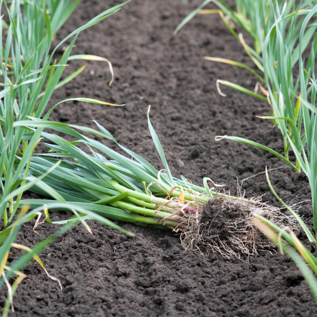 Green Spring Garlic