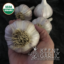 Korean Red (Wisconsin) Certified Organic Garlic Bulbs