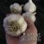 Korean Red (Wisconsin) Garlic Bulbs